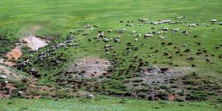 吃草船和山羊牧群  库存照片