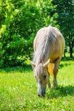 吃草花斑的马 库存照片