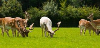 吃草英国乡下新的森林汉普郡南部的英国的野生鹿牧群  图库摄影