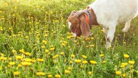 吃草英国人的Nubian的山羊,吃在太阳的草点燃了草甸充分的o 库存图片