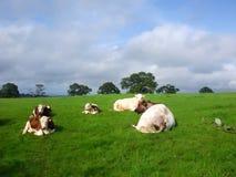 吃草英国母牛 免版税库存照片