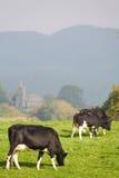 吃草英国牛的乡下 免版税库存照片