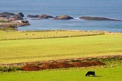 吃草草甸天空的蓝色母牛下 免版税图库摄影
