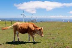 吃草草甸的母牛 在背景电的生产的风轮机 免版税图库摄影