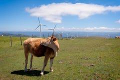 吃草草甸的母牛 在背景风轮机 库存照片