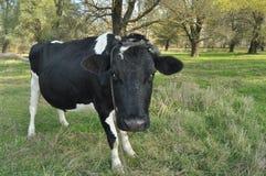 吃草草甸的母牛 特写镜头 动物农场横向许多sheeeps夏天 免版税图库摄影