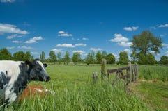 吃草草甸的母牛 库存图片
