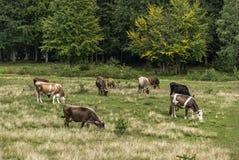 吃草草甸的母牛 免版税库存照片