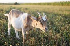吃草草的山羊 免版税库存照片