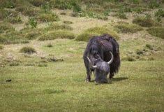 吃草草的牦牛 免版税库存照片