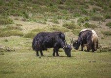 吃草草的牦牛 免版税图库摄影