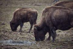 吃草草的狂放的北美野牛 库存图片