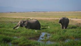 吃草草的狂放的非洲大大象站立在大草原的沼泽 股票录像