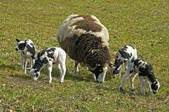 吃草荷兰羊羔和母亲绵羊的春天 库存照片