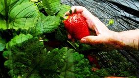 吃草莓的子项 股票录像