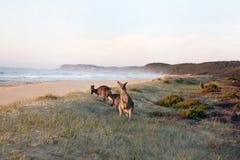 吃草袋鼠的海滩 免版税库存照片