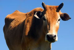 吃草越南的牛 免版税库存照片