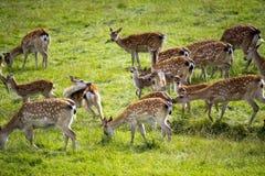 吃草轴的鹿 库存图片