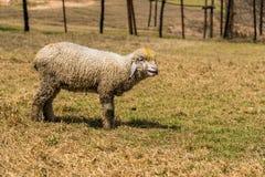 吃草逗人喜爱的羊羔 图库摄影