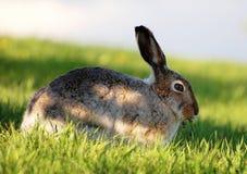 吃草通配的兔子 库存图片