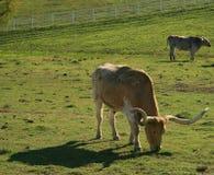 吃草长角牛 免版税图库摄影