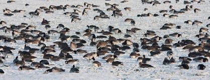 吃草队伍通配冬天的鹅 免版税图库摄影