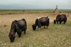 吃草青海西藏人yaks 免版税图库摄影