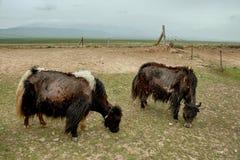 吃草青海西藏人yaks 免版税库存图片