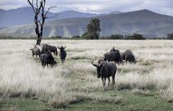 吃草非洲大草原的蓝色角马牧群 免版税库存图片