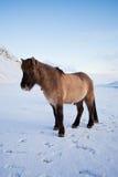 吃草马冰岛语草甸的群 库存照片