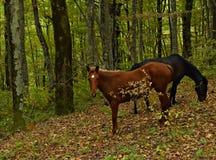 吃草马在山的秋天森林里 库存图片