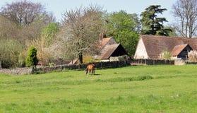 吃草马在有农场的英国草甸在背景中 库存图片