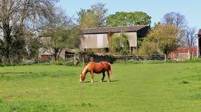 吃草马在英国草甸 免版税图库摄影