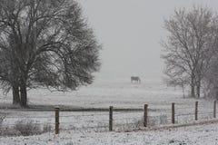 吃草马暴风雪冬天的农场 库存图片