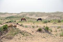 吃草马的海滩通配 图库摄影