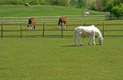 吃草马的牛 免版税库存图片