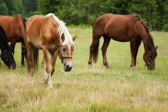 吃草马的牧群 库存图片