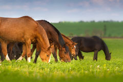 吃草马的牧群 免版税图库摄影