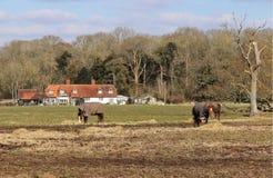 吃草马的英国农村 免版税图库摄影