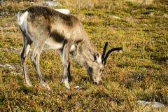 吃草驯鹿,瑞典 库存照片