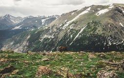 吃草驯鹿 科罗拉多落矶山的野生生物  落矶山脉国家公园 免版税库存照片