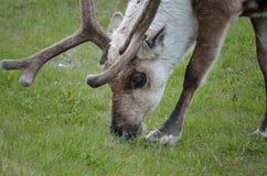 吃草驯鹿 库存图片