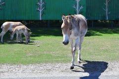 吃草驴的家庭 免版税库存图片