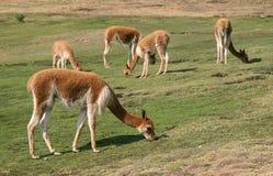 吃草骆马类 免版税库存照片
