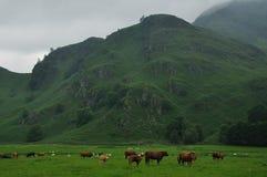 吃草高地母牛在苏格兰 库存照片