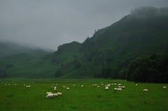 吃草高地绵羊在苏格兰 免版税库存图片