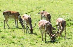 吃草鹿的休闲地 免版税库存照片