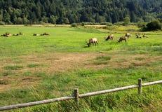 吃草麋的牧群 免版税库存图片