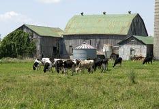 吃草黑白花牛的母牛 库存图片