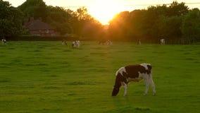 吃草黑白花的母牛牧群,吃在一个领域的草在农场在日落或日出 股票录像